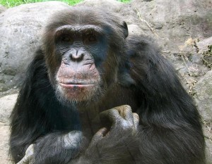 771px-Knoxville_zoo_chimp_closeup